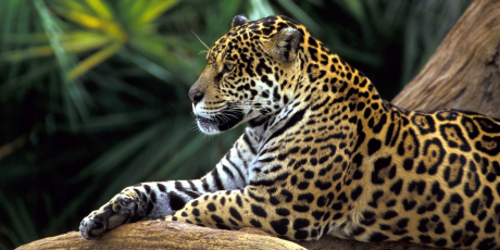 Protect the Jaguar & the Amazon